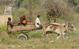 Oxcart in Ifaty