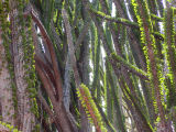 Didiereacaea, more spiny forest spines