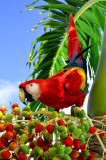 Scarlet Macaw Festing on Palm, Jungles of Palenque