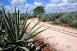 Agave Fields, Sisal Hacienda