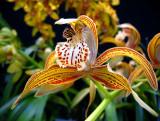 Wild Tiger Lily, Gardens of Edzna
