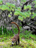 Coati on Hunt, Jungles of Edzna