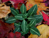 Rattlesnake Orchid in Fall Colors tb1008b