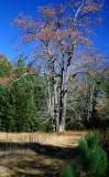 Autumn Cherry Tree on Bruffey Trail v tb11081b