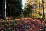 Charles Creek Trail Fall Beech Spruce Forest tb11084m