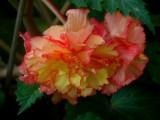 Multi -color Begonia