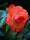 Begonia Beauty.jpg