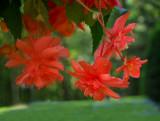 Hanging Begonias.jpg