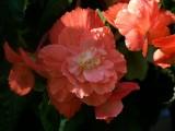 Vics Begonias