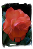 Orange Rose Begonia
