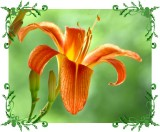 Tiger Lily - From Mother Nature's Garden