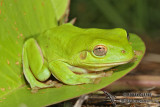 Green Tree Frog - Litoria caerulea 7355