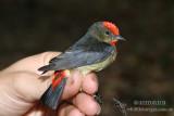 Papuan Flowerpecker 9036.jpg