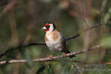Finches, Sparrows and  Accentors