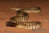 Black-headed Python - Aspidites melanocephalus 0270