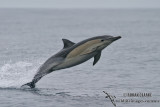 Common Dolphin 1540