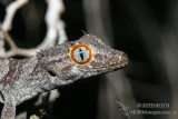 Northern Spiny-tailed Gecko - Strophurus ciliaris 0854