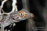 Geckos - Gekkonidae