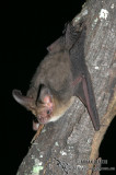 Gould's Long-eared Bat