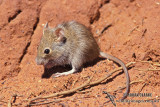 Western Chestnut Mouse