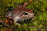 Froglets - Geocrinia spp.