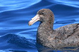 Northern Giant-Petrel 8521.jpg