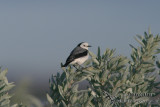 White-fronted Chat 4923.jpg