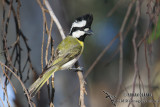Crested Shrike-tit 1211
