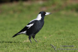 Magpie and Woodswallows