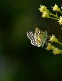Common Checkered- Skipper