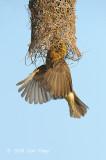 Weaver, Baya (male) @ Murai Farmway
