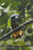 Shama, Rufous-tailed (male)