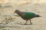 Dove, Emerald