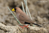 Finch, Masked @  Mary River Excavation Pits