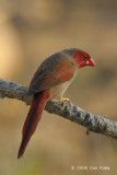 Finch, Crimson (female) @ Mary River Excavation Pits