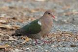 Dove, Pacific Emerald @ Casuarina Coastal Reserve
