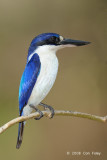 Kingfisher, Forest (female) @ Casuarina Coastal Reserve