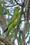 Parrot, Red-winged (female) @ Mary River Park