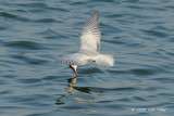 Tern, Whiskered (breeding) @ Leanyer Sewage Works