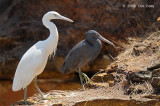 Egret, Eastern Reef @ East Point Reserve