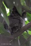 Owl, Philippine Scops @ Villa Escudero