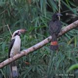 Hornbill, Luzon (pair) @ Subic