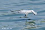 Tern, Whiskered (non-breeding) @ Leanyer Sewage Works