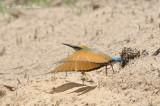 Bee-eater, Rainbow @ Casuarina Coastal Reserve