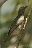 Figbird, Australian (immature male) @ Casuarina Coastal Reserve