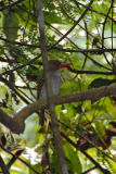 Kingfisher, Banded (female) @ Kuala Tahan