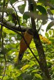 Trogon, Red-naped (female)