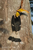 Hornbill, Great (female) @ Eng Neo