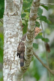 Eagle, Wallace's Hawk @ Kinabatangan
