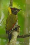 Yellownape, Lesser (female) @ Hemmant Trail